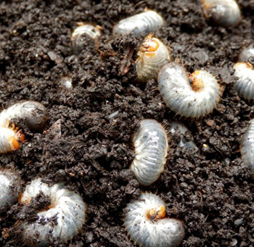 Chafer grubs