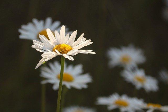 when do daisies bloom