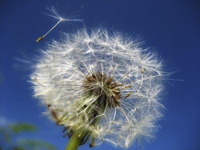 weeds spread in wind, dandelion