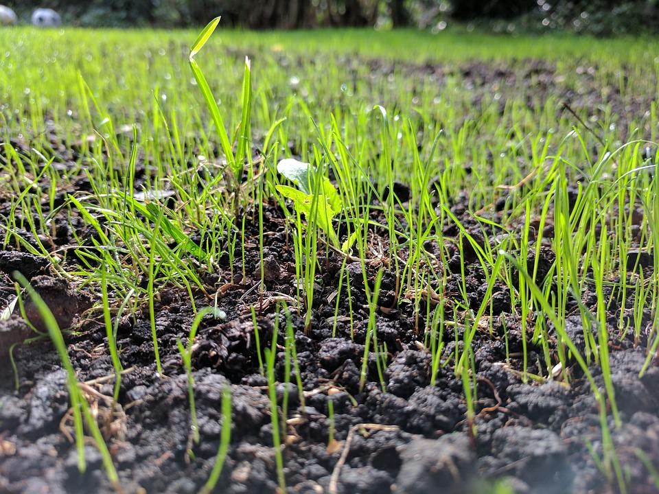 UK lawn grass