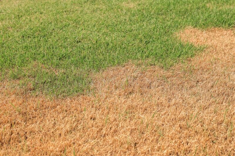 Fusarium patch disease