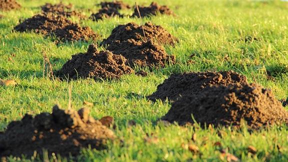 Molehills in garden