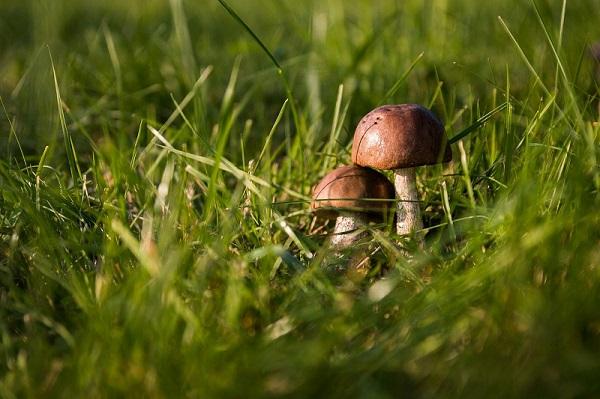 mushrooms on my lawn