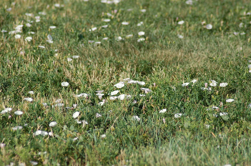 Lawn with bindweed